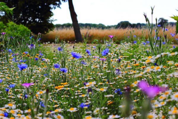 wildflowers - british school field voorschoten